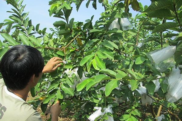 Cách trồng ổi cho ra nhiều trái 1