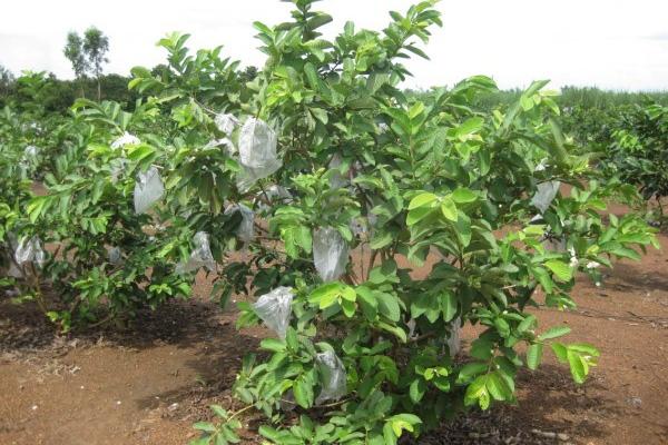 Kỹ thuật trồng và chăm sóc ổi Thanh Hà - Hải Dương 1