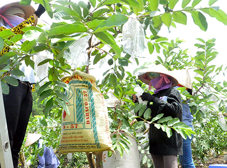 Cách trồng ổi cho ra nhiều trái