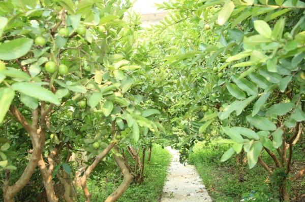 Kỹ thuật trồng và chăm sóc ổi Thanh Hà - Hải Dương