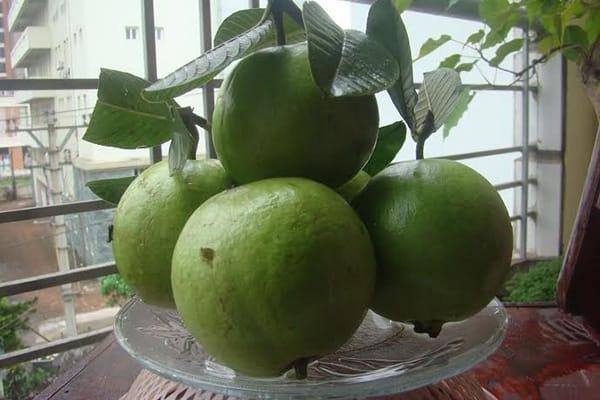 Ổi Bo – Hương vị trái ngon quê lúa Thái Bình 1