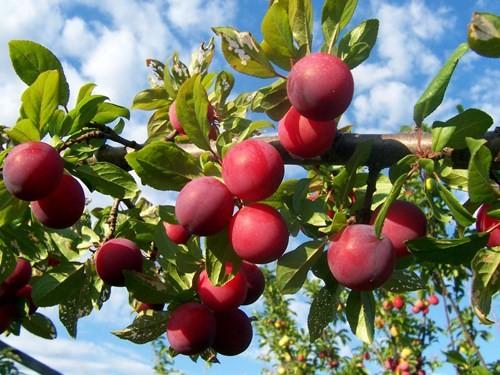 7 loại trái cây là đặc sản của núi rừng Tây Bắc