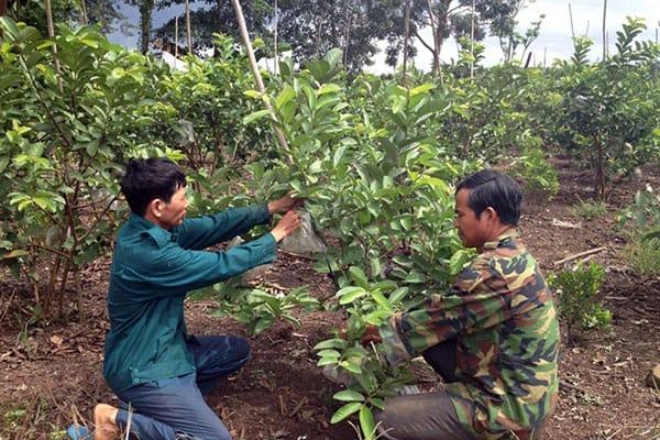 Cách trồng, chăm cây ổi găng tại miền Bắc