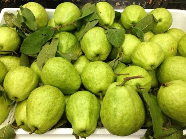 Ổi Bo – Hương vị trái ngon quê lúa Thái Bình