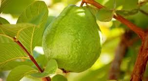 Ổi là trái cây có thể chữa khỏi bệnh đái tháo đường