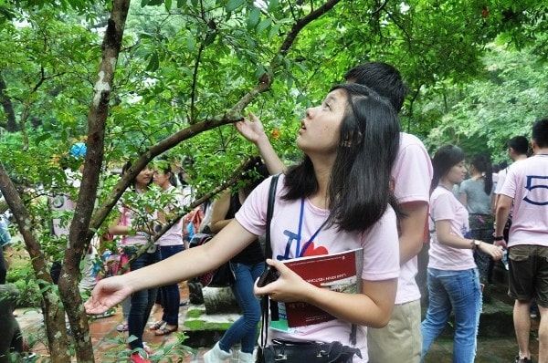 """Ổi """"cười"""" – Bí ẩn của mảnh đất Lam Kinh, Thanh Hóa 1"""