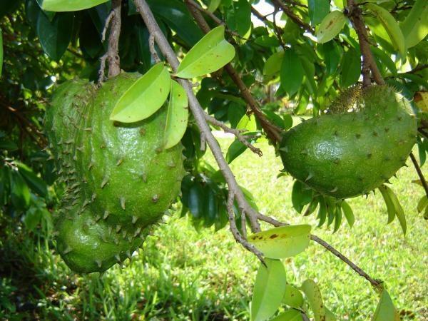 Mãng cầu xiêm - Loại trái cây có tác dụng chống ung thư tốt nhất 1