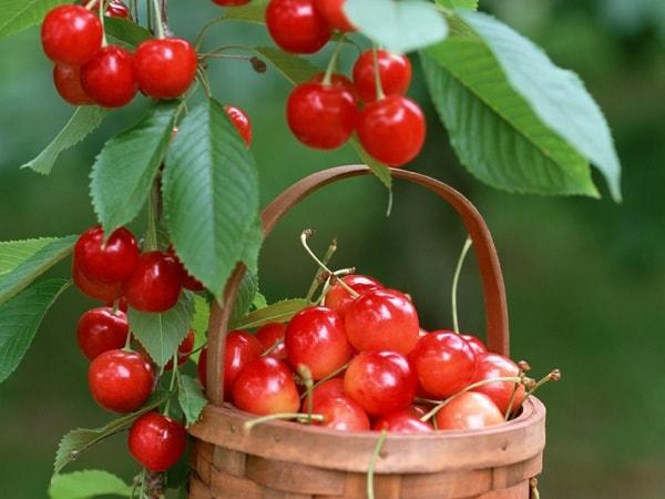 10 tác dụng có thật từ trái Cherry đối với sức khỏe 1