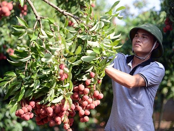 Kỹ thuật trồng và chăm sóc vải thiều sai quả, thơm ngọt 2