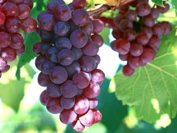 Những trái nho mọng nước, dùng để ngâm rượu rất tốt