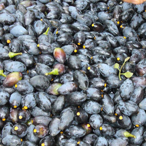 Trám rừng phơi khô có thể chế biến thành nhiều món ăn khác nhau