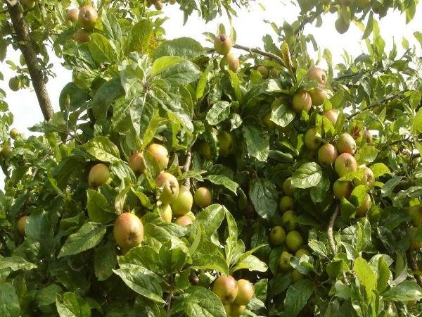 Lợi ích sức khỏe và cách chê biến quả táo mèo - đặc sản Lào Cai 1