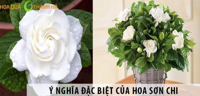 Ý nghĩa đặc biệt của hoa Sơn Chi