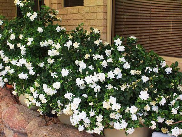 Hoa Sơn Chi màu trắng tinh khôi với hương thơm dịu ngọt