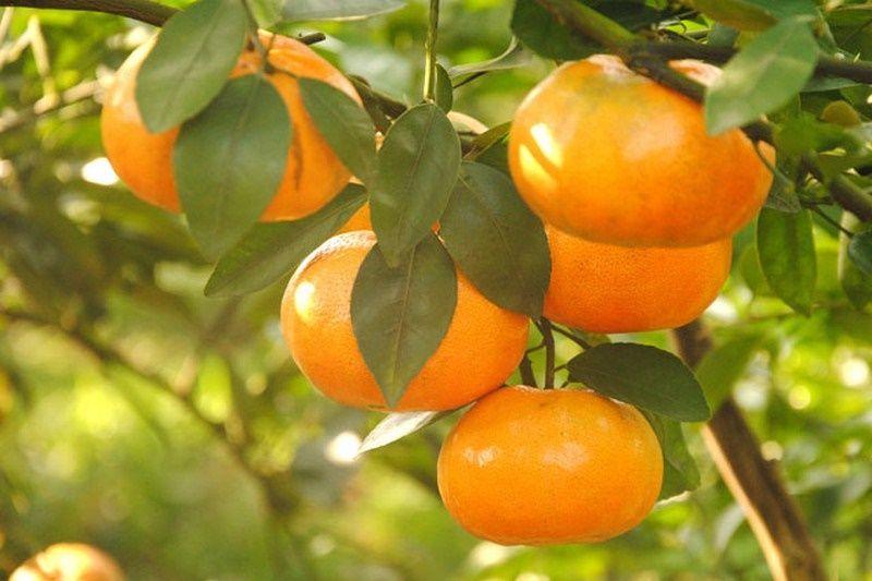 Những trái quýt căng mọng nước và thơm ngon