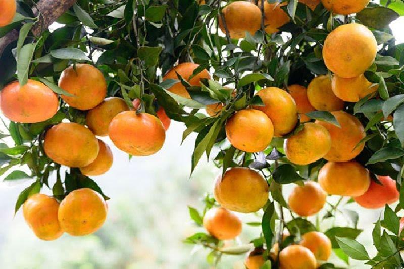 Những trái cam chín vàng thơm ngọt
