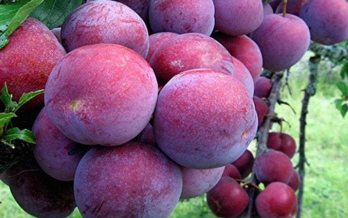 Những quả mận đỏ Hà Giang nổi tiếng vì hương vị thơm ngon