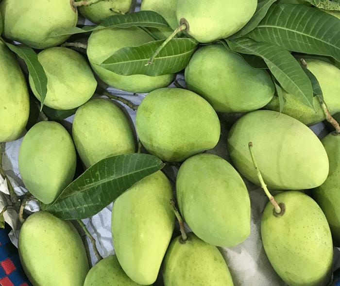 Xoài là một loại quả được trồng ở Điện Biên với diện tích tương đối lớn