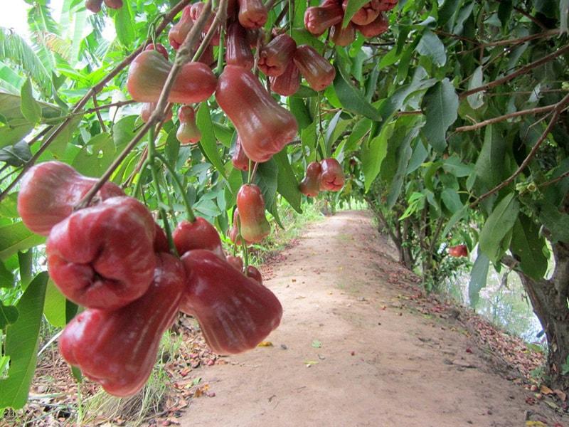 Vườn trái cây Mỹ Khánh – Cần Thơ