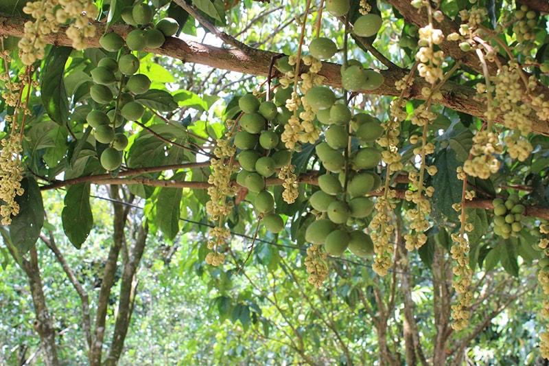 Vườn trái cây Trung An – Củ Chi