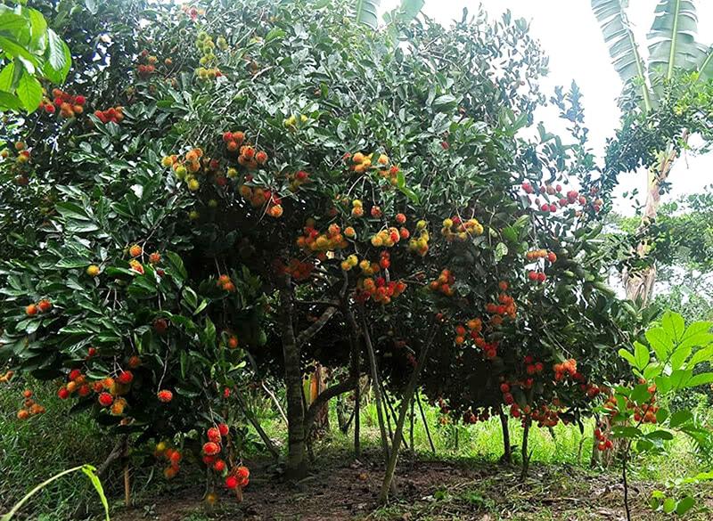 Vườn trái cây Lái Thiêu – Bình Dương