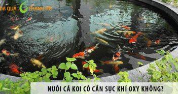 Nuôi cá koi có cần sục Oxy không? Cách tạo oxy cho hồ cá Koi