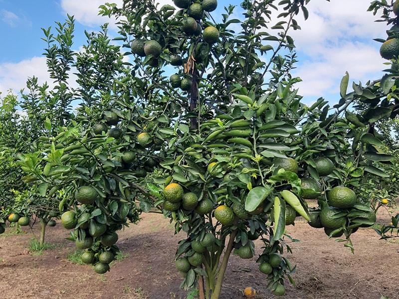 Trồng cây ăn quả - hướng đi mới của tỉnh Gia Lai